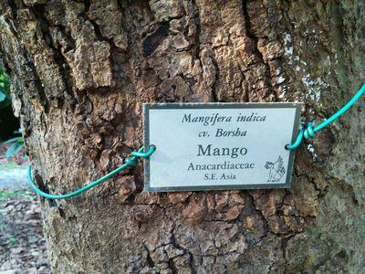 Mangos and Mango Trees