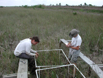 Measuring sawgrass in macrophyte plots at TS/Ph-1 (Gustavo Rubio, Damon Rondeau)