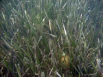 Seagrass at TS/Ph-9 by Jim Fourqurean