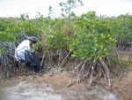 Carlos Coronado-Molina measuring dead wood biomass in dwarf mangroves, Taylor Slough