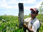 Edward Castaneda retrieving a soil core to assess sedimentation and nutrient accumulation rates in a dwarf mangrove forest, Taylor Slough