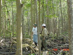 Left to right: Roger Holland and Victor H. Rivera-Monroy. Constructing boardwalk in mangrove forest, Shark River Slough