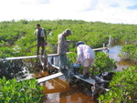 Left to right: Edward Castaneda, Calvin Liu, Steve Davis retrieve buckets filled with Florida Bay sediment to initiate fertilization experiment in dwarf mangrove forests, Taylor Slough