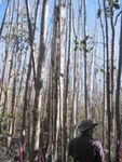 Mike Ross inspecting mangrove tree canopy damage after Hurricane Wilma, Harney River