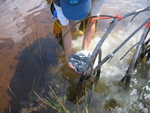 Sharon Ewe applying Florida Bay sediments to dwarf mangrove forest as part of a fertilization experiment, Taylor Slough