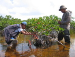 Left to right: Sharon Ewe and Calvin Liu applying Florida Bay sediments to dwarf mangrove forest as part of a fertilization experiment, Taylor Slough