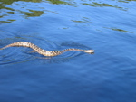 Snake swimming next to fringe mangrove forests, Cook Lagoon