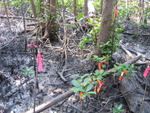 Tagged seedlings in a forest gap created by Hurricane Wilma, Shark River Slough
