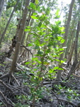 Laguncularia racemosa (white mangrove) seedling growing in the middle of a forest gap created by Hurricane Wilma, Shark River Slough