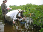 Left to right: Dan Bond, Kim de Mutsert and Edward Castaneda measuring porewater salinity, redox, and hydrogen sulfide in dwarf mangroves, Taylor Slough