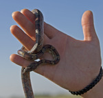 Rat snake, Taylor Slough