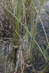 Tagged sawgrass (Cladium jamaicense) at TS/Ph-2, Taylor Slough