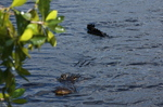 American alligator swimming in the Shark River estuary