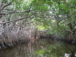 Mangrove ecotone, Taylor Slough