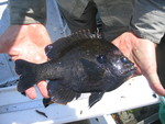 Bluegill, Rookery Branch