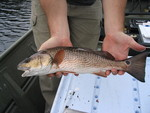 Red drum, Rookery Branch