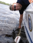 Mike Heithaus brings a shark next to the boat to be measured, tagged, and sampled, Shark River