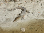 Juvenile crocodile at Buttonwood Canal by Philip Matich