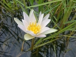 White water lily (Nyphaea odorata) by Stephanie Long