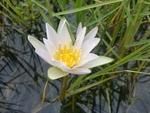 White water lily (Nyphaea odorata)
