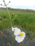 Sagittaria lancifolia by Jessica A. Lee