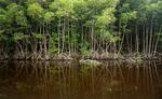 Mangroves tangled by Franco A.C. Tobias