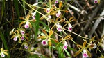 Butterfly orchid near TS/Ph-7a