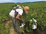 Sean Charles collecting a soil core in dwarf mangroves. by Nick Oehm