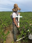 Sean Charles collecting a soil core in dwarf mangroves.