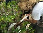 Sean Charles measuring a soil core in dwarf mangroves.